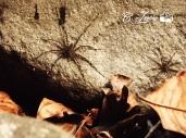 Araña en El Imposible, Ahuachapan