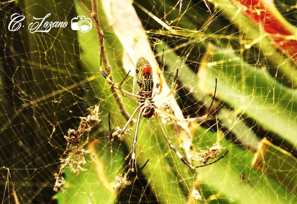 Araña en Teosinte, SFM, Chalatenango