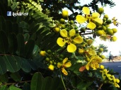 Arbol de Flor Amarilla (Cassia siamea), San Vicente, El Salvador
