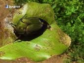 Escarabajo, Laguna de Apastepeque, San Vicente, El Salvador