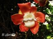 Flor del arbol Cañon, UES, san salvador