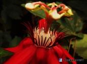 Flor en Parque Saburo Hirao, San Salvador