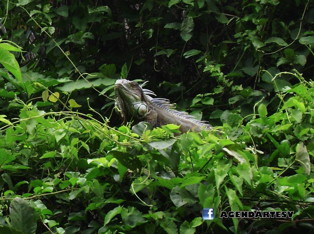 Iguana en Jardin botanico