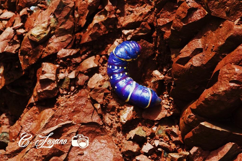 Insecto, El Limo, Metapan, Santa Ana