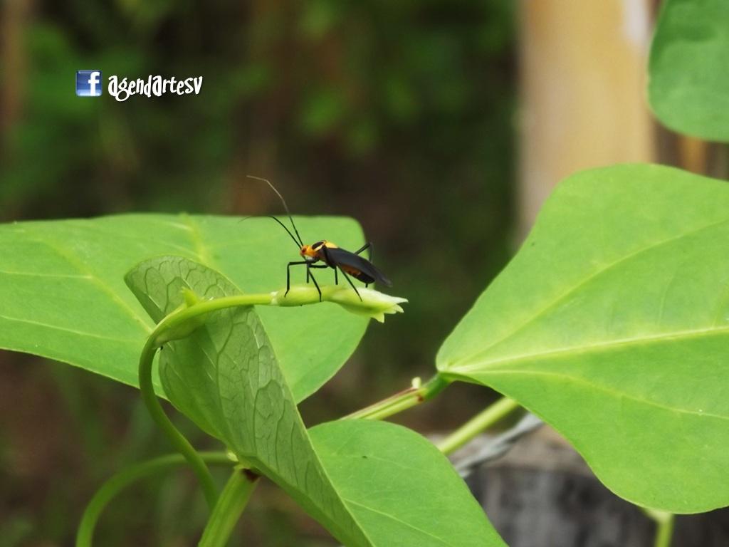Insecto, El Porvenir, Santa Ana, El Salvador