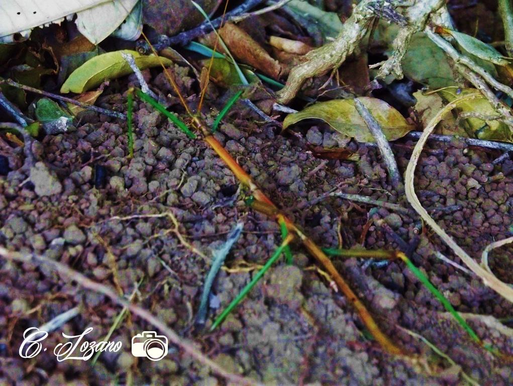 Insecto en Parque Nacional El Imposible, Ahuachapan