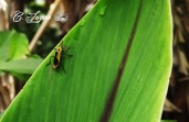 Insecto, Jayaque, La Libertad