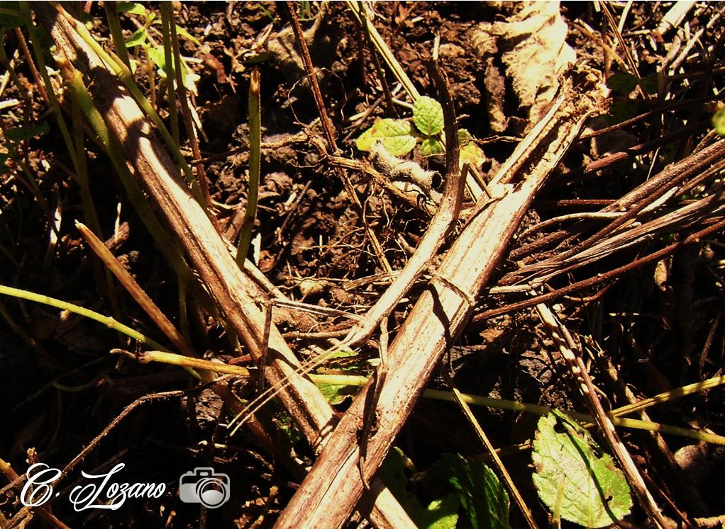 Insecto, la argentina, El Playon-San Juan Opico