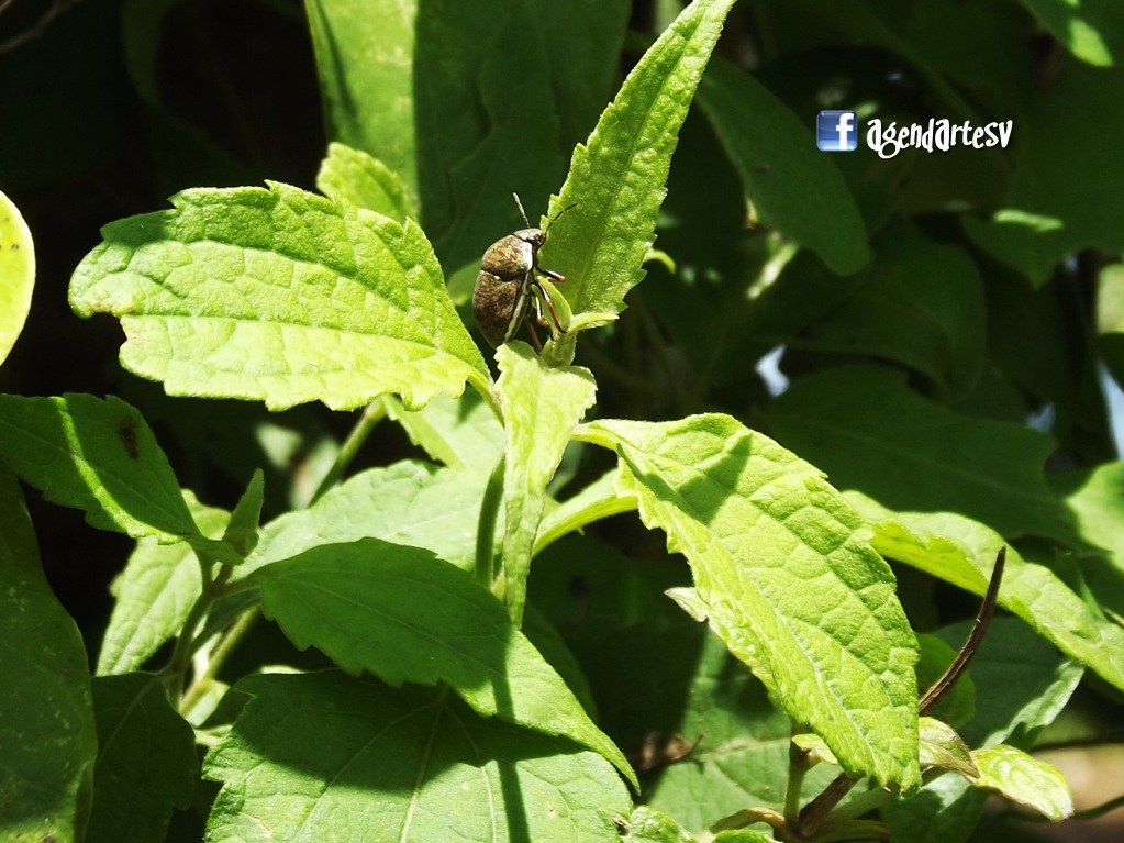 Insecto, Las Chinamas, Ahuachapan, El Salvador