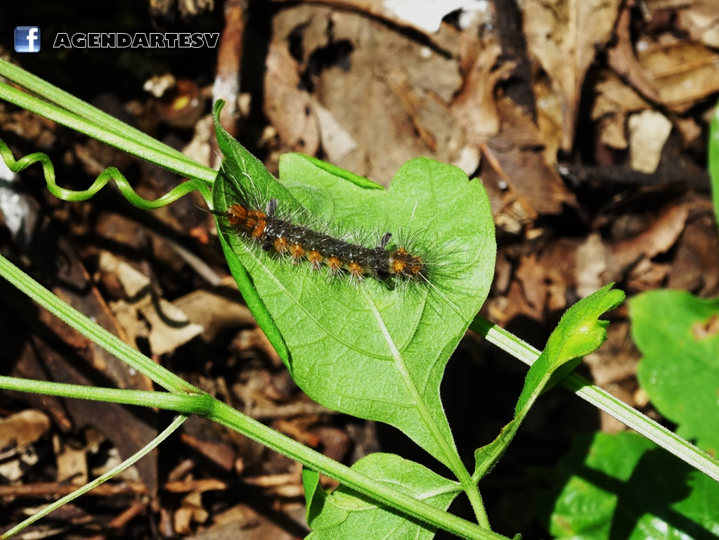 Insecto Las Chinamas, Ahuachapan