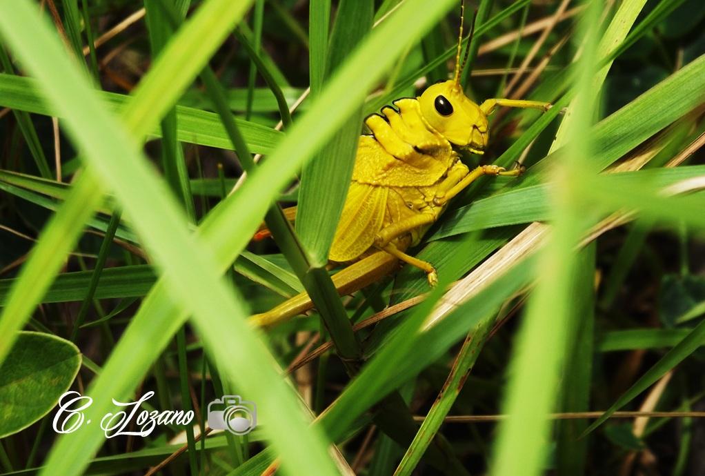 Insecto Llano Grande, Concepcion Quezaltepeque, Chalatenango