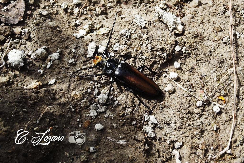 Insecto, Teosinte, San Francisco Morazan, Chalatenango