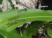 Libelulas, San Ramon, Cuscatlan, El Salvador