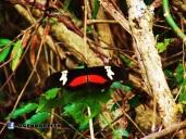 Mariposa, El Limo, Metapan