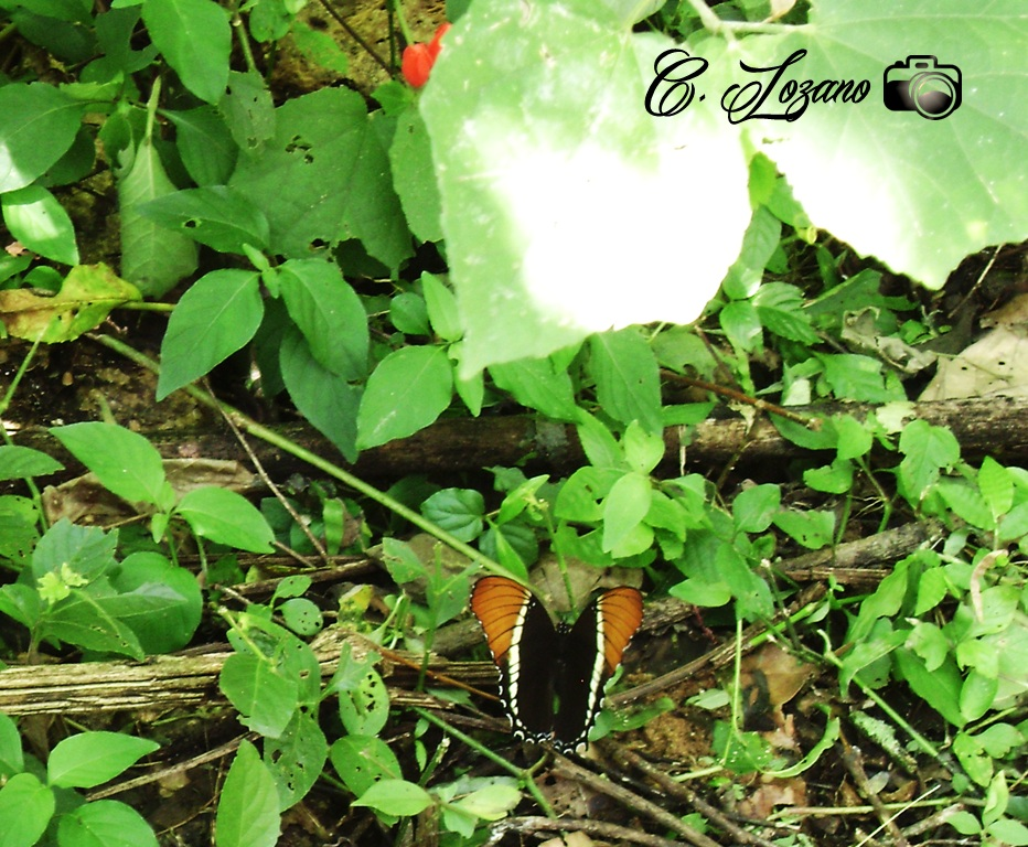 Mariposa en Cojutepeque