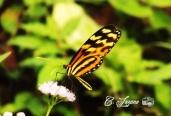 Mariposa, Jayaque