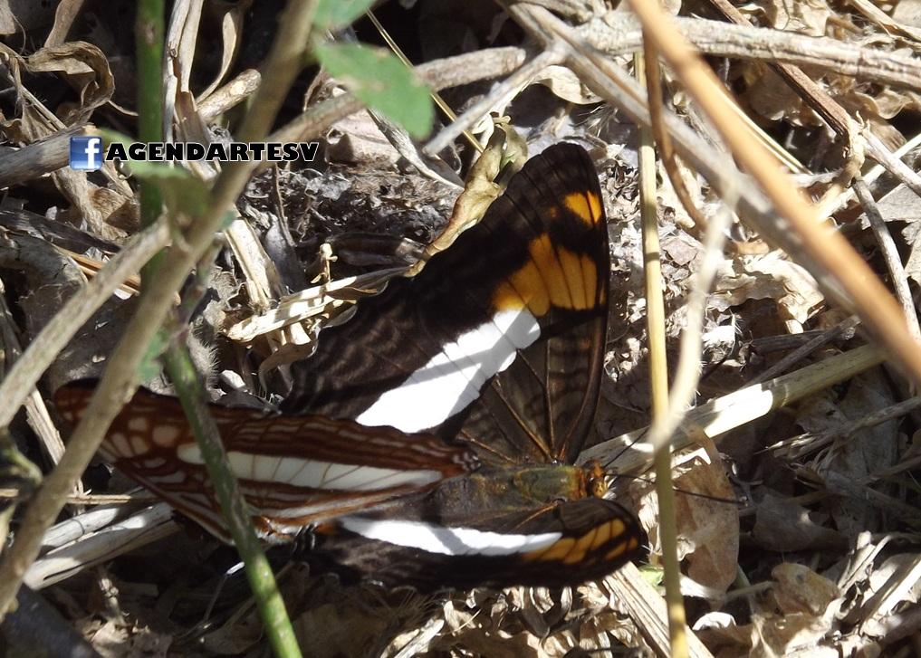 Mariposas, apareamiento, ANP San Andres, La Libertad