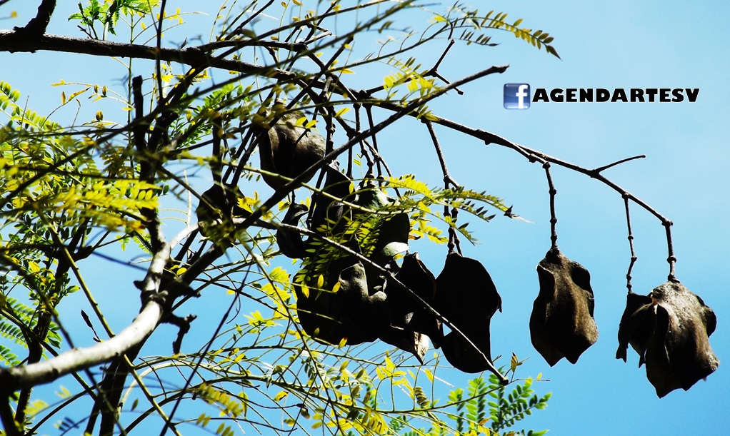 Semillas del Arbol de Jacaranda, Santa Tecla, El Salvador