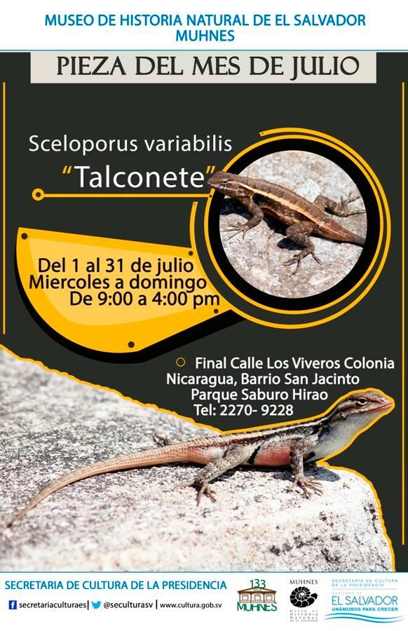 sceloporus variabilis talconete 1